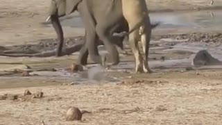 Wild Lion Hunting Baby Elephant at Forest   #trendy