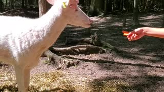 Hand-feeding a majestic albino whitetail deer