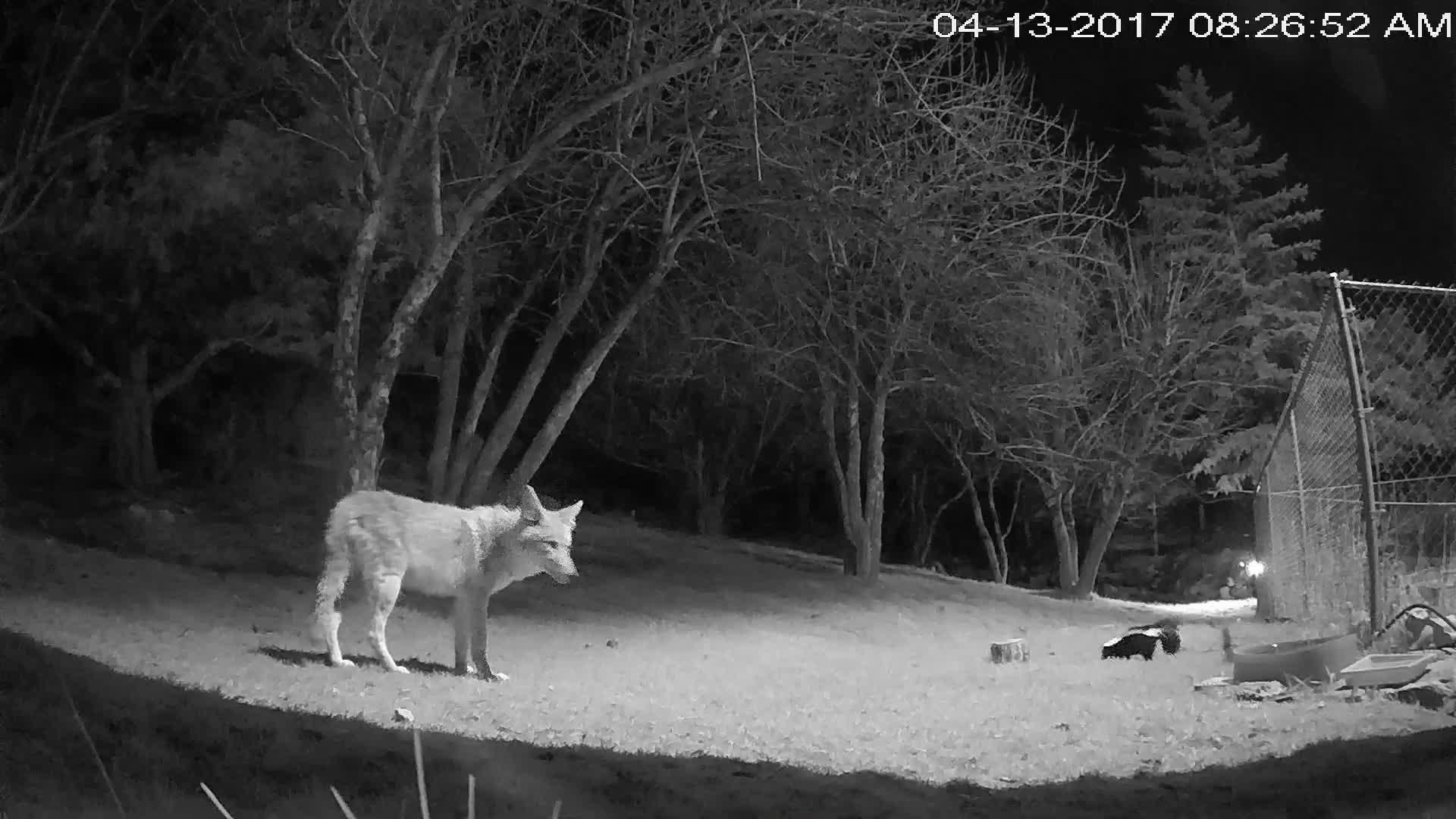 Fryktløst stinkdyr jagde prærieulv på sprang