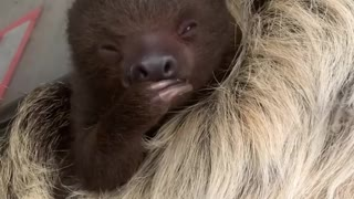 Cute baby sloth is eating a piece of fruit