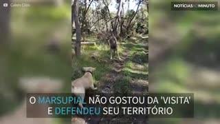 Canguru ataca cão e dono para defender território