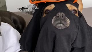 Homemade Halloween Costumes for Doggo Duo