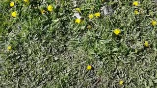 Very beautiful dandelions.