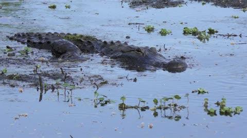 american alligator swims in a mud
