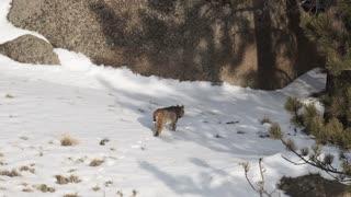 Bobcat in my yard