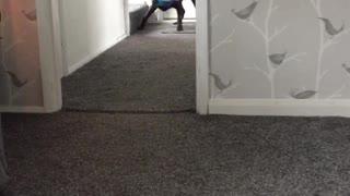 Dog Runs Around with Bag Over Head