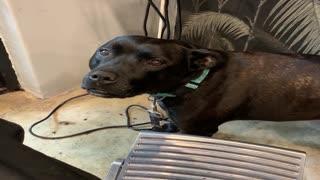 Lovable Pooch Has Peculiar Bark