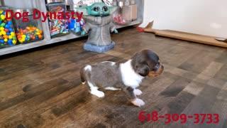 Dog Dynasty Puppy Female Dachshund
