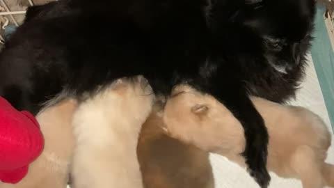 Pomeranian puppies nursing