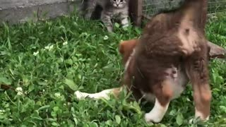 A cowardly puppy tries to play with a kitten however the cat