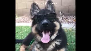 A Dog Wears Sunglasses.