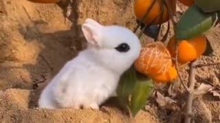 Cute rabbit eat orange