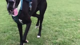 Railey the Great Dane Running in Slow Motion