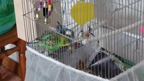 My parrots love each other.