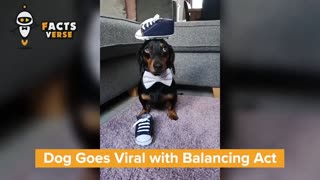 Talented dog with balancing skills - MUST watch this