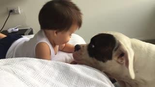 "Baby vs American Bulldog ""The kissing War"""