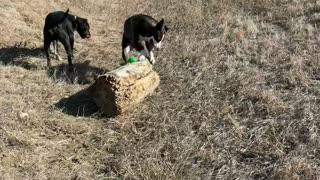 Rolling rolling rolling! Dog Rolls Large Log