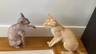 cute cats fighting video