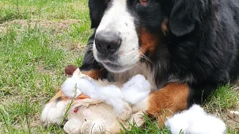 Bernese Mountain Dog destroying a soft toy
