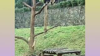 PANDA BEAR FALLING FROM THE TREE