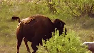 Wolves attack young buffalo