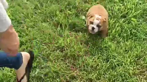 Bulldog Puppy's first time outside!