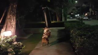 Bulldog Thinks She's a Boxer