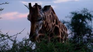 a-giraffe-feeding-on leaves 2021