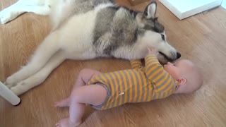 Husky looking after baby