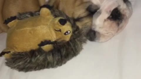 The most adorable english bulldog puppy sleeping