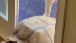 Tortoise Opens Sliding Door And Enters House Along With Dogs