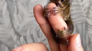 little monkeys chi chi