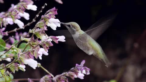 Breathtaking HD footage of exotic hummingbirds