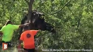 Cow Stuck in Tree After Hurricane Ida