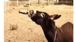 Donkey after drinking wine