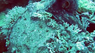 Attack and predation..! Murray on the Octopus - HD video - 2