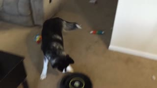 Siberian Husky challenges a Roomba