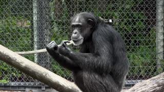 Chimpanzee at Zoo Stock Video Footage
