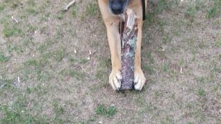 Dog likes stick..