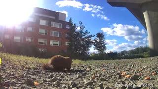 Groundhog eating 5