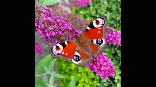Farfalla pavone