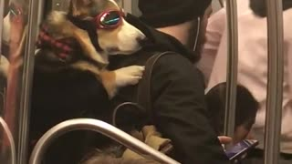 Dog strapped onto owner's back on subway train