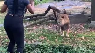 Woman Enters Lions Enclosure