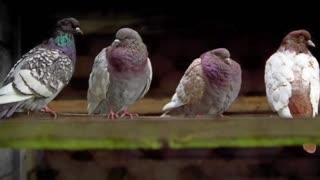 Pigeon sounds (1 Hour)