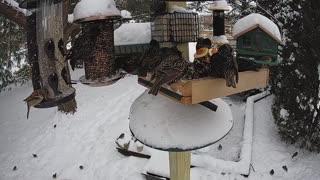 Starlings Invade Bird Feeder