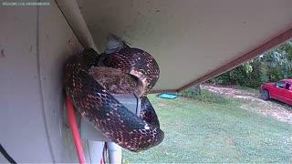 Rat Snake Eats Baby Bird