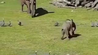 Elephant baby playing with bird