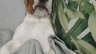 Beagle pup snores just like an old man!