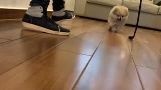Pomeranian jumps for toy rope, ends up crashing into the camera