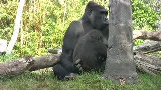 Gorillas just being themselves